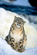 Snow leopard in winter snow (c/c)