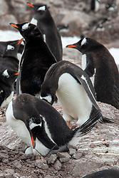 Gentoo Penguin Buidling Nest In Rookery, Neko Harbor, Antarctica