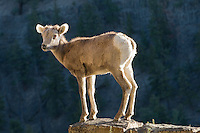 A young big horn sheep stands perched atop a ledge in Yellowstone National Park.