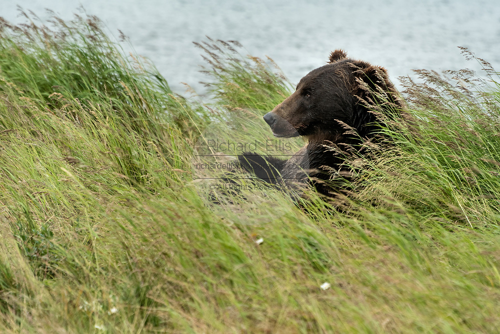 A Brown bear boar rests in the grass at the McNeil River State Game Sanctuary on the Kenai Peninsula, Alaska. The remote site is accessed only with a special permit and is the world's largest seasonal population of brown bears in their natural environment.