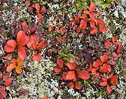 Alpine tundra plant leaves turn red in late August at Wonder Lake, Denali National Park, Alaska, USA.