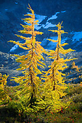 Two larch trees, or tamaracks, along the Maple Pass loop trail in North Cascades national park