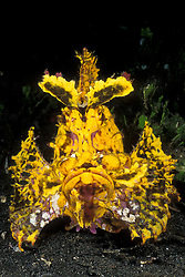 A rarely seen, brilliant yellow Weedy Scorpionfish, Rhinopias frondosa, waits patiently for small fish to pass within striking distance. Manado, North Sulawesi, Indonesia, Pacific Ocean