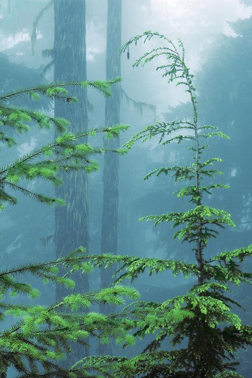 Western hemlock (Tsuga heterophylla), fog, Olympic National Park, Washington, USA