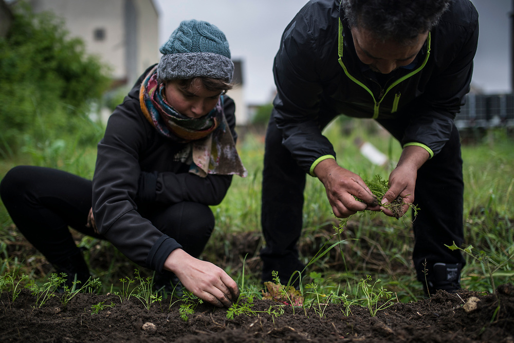 Two of the members of the association in charge of the Agrocite transplant carrot sprouts in the common plot of the community garden, Colombes, France, June 2016.