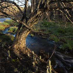 An ironwood tree and fiddleheads next to the Ashuelot River in Surry New Hampshire USA