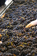 Hand selecting the bad grapes at a sorting table. Chateau Phelan-Segur, Saint Estephe, Medoc, Bordeaux, France