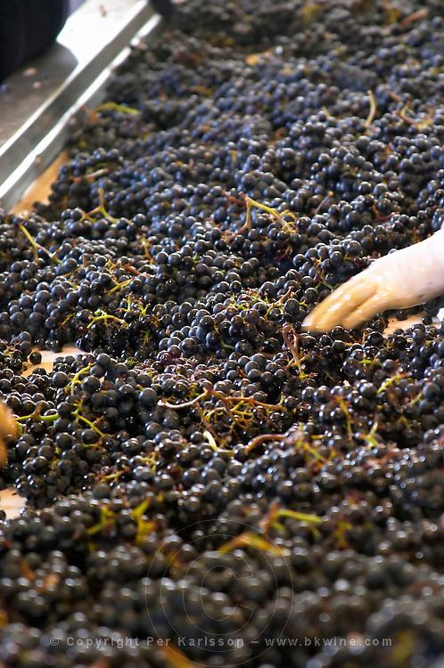 Hand selecting the bad grapes at a sorting table. Chateau Phelan-Segur, Saint Estephe, Medoc, Bordeaux, France
