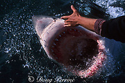 great white shark, Carcharodon carcharias, gaping at surface, in response to a snout tickle by shark whisperer Andre Hartman, off Gansbaai, South Africa ( Indian Ocean )