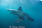 great white shark, Carcharodon carcharias, off Gansbaai, South Africa ( Indian Ocean )