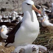 Black-browed Albatross (Diomedea melanophris) Adult and chick on nest. Steeple Jason Island. Falkland Islands.