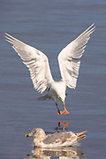 A hybrid gull prepares to land on the water of Port Gardner in Everett, Washington.