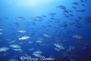 spawning aggregation of Nassau groupers, Epinephelus striatus ( critically endangered species ), Belize ( Caribbean Sea )