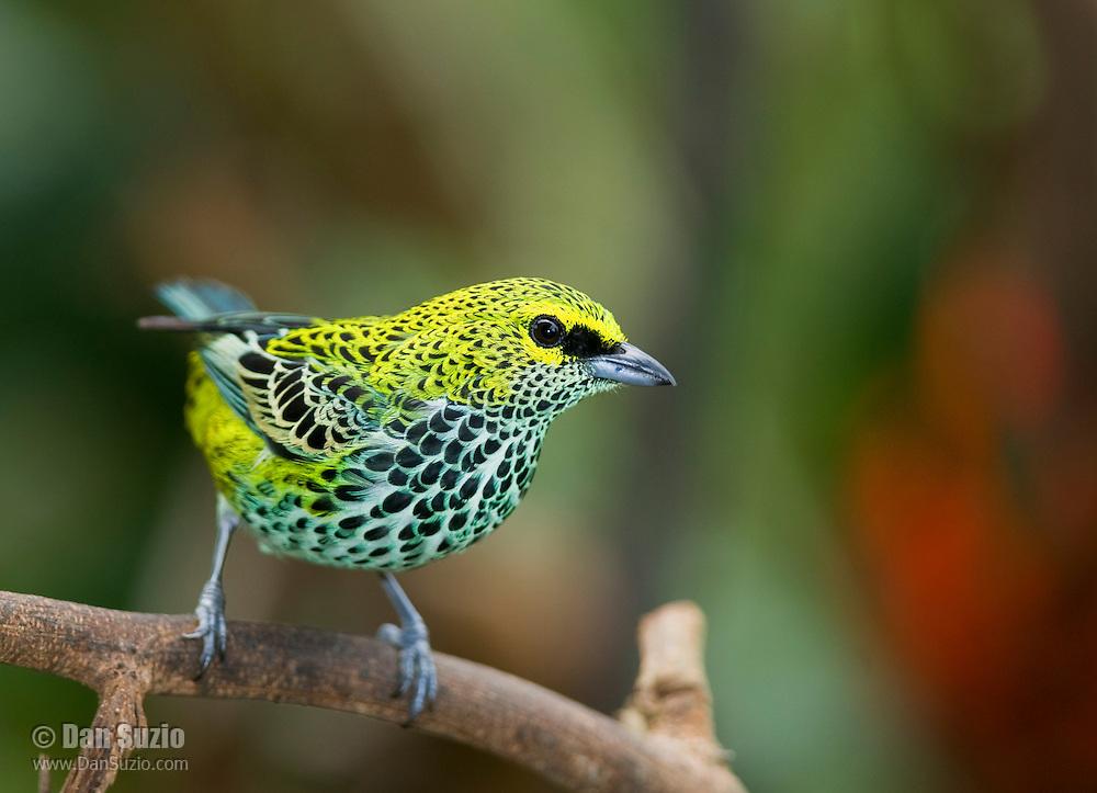 Speckled tanager, Tangara guttata, Talamanca Mountains, Costa Rica