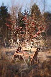 Holly berries and bench, Trinity River Audubon Center, Dallas, Texas, USA.