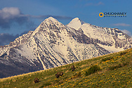 Bison bulls grazing in balsomroot with dramatic Mission Mountains at the National Bison Range in Moiese, Montana, USA