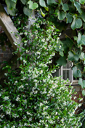 Scented Trachelospermum jasminoides (Star jasmin) growing up a balcony just outside a window