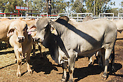 Mix of beef cattle including Brahman bulls  in stock yards  awaiting livestock sales at Liveweight Stock Complex, Moura, Queensland, Australia <br />