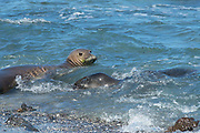 Hawaiian monk seal, Neomonachus schauinslandi, formerly Neomonachus schauinslandi ( Critically Endangered, endemic species ), 8-9 year old female ( RI25 ), with 6 week old pup (RN02 or Kamilo ), Kaiole Bay, near Kamilo Point, Ka'u, Hawaii ( the Big Island )