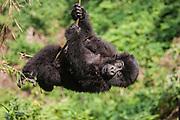 A  mountain gorilla infant (Gorilla beringei beringei) swinging from a vine, Volcanoes National Park, Rwanda