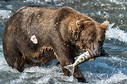 A large Grizzly bear boar with a wound from fighting catches a chum salmon in the upper McNeil River falls at the McNeil River State Game Sanctuary on the Kenai Peninsula, Alaska. The remote site is accessed only with a special permit and is the world's largest seasonal population of brown bears.
