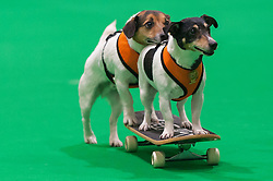 © Licensed to London News Pictures. 07/05/2016. London, UK. A pair of Jack Russell terriers demonstrate skateboarding.  Huge crowds of pet lovers visit The National Pet Show at the Excel centre.  Everything from dogs, cats, small furry animals to reptiles are on show for visitors to meet. Photo credit : Stephen Chung/LNP