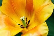 Triumph Tulip 'Veronique Sanson' Keukenhof Spring Tulip Gardens, Lisse, The Netherlands.