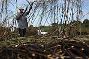 Francisco Hernandez, 33, from Xaibé, cuts sugar cane at the plot of local BSCFA member Leocadio Hoy. Belize Sugar Cane Farmers Association (BSCFA), Xaibé, Corozal, Belize. January 22, 2013.