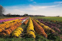 farm growing Mum plants on Long Island