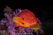 coral grouper, jewel grouper, coral hind, coral trout, or coral cod, Cephalopholis miniata, Similan Islands, Thailand ( Indian Ocean )