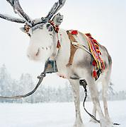 A Sami's reindeer in Lapland, Sweden