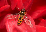Close-up of a marmalade icon hover-fly (Epysyrphus balteatus) resting with open wings on a deep red rose in a Surrey garden in summer