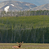 A Bull Elk (Cervus canadensis) relaxes in Elk Park Meadows in Yellowstone National Park.  Dome Mountain rises in the background.