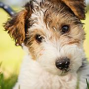 Judi - Wire Fox Terrier Puppy