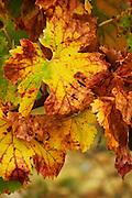 An old Grenache vine with yellow autumn leaves. Domaine Viret, Saint Maurice sur Eygues, Drôme Drome France, Europe