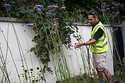 Stephen from Ground Works who implements the gardens picks sweet black berries in the garden at West Hampstead 28th July 2016, London, United Kingdom.  The garden is ready and now need to grow over the summer.  Energy Gardens is a pan-London community garden project where reclaimed land alongside over ground train stations and track are cultivated by local community groups. Up 50 gardens are projected with the rail network being the connection grid. The project is a collaboration between Repowering London, Groundwork, local community groups, station managers working for Transport For London and Network Rail.
