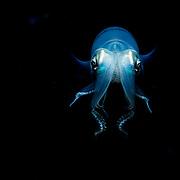 Caribbean reef squid (Sepioteuthis sepioidea) portrait at night, Eleuthera, Bahamas.