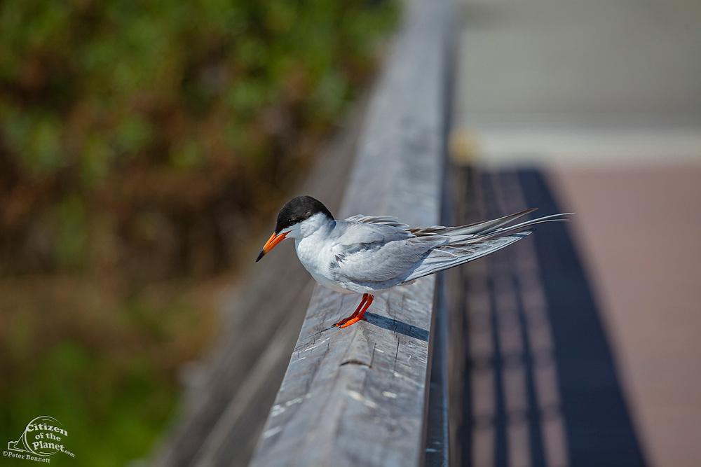 Tern, Bolsa Chica Ecological Reserve, Orange County, California, USA