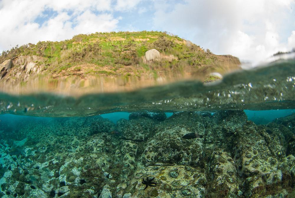 Kermadecs Marine Reserve, Meyer Islets, Endemic Kermadecs Giant Limpet, Patella kermadecensis