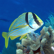 Porkfish inhabit reefs in Tropical West Atlantic; picture taken Grand Cayman.