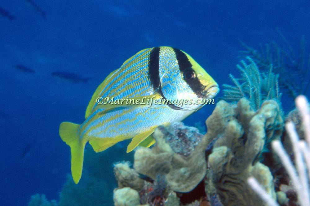 Porkfish inhabit reefs in Tropical West Atlantic; picture taken Grand Cayman.