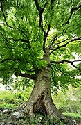 Common Beech Tree, Fagus sylvatica, Queendown Warren, Kent UK - Kent Wildlife Trust, old tree,