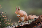 Red squirrel, Sciurus vulgaris, winter coat, in pinewood, Strathspey, Highland