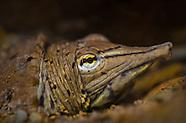 Spiny Softshell Turtle, Underwater