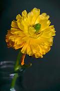 Close up of a yellow Dahlia in a garden