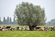 Nederland,The Netherlands, Millingen, 7-8-2018 Koeien die buiten in de wei staan zoeken de schaduw van een boom .Foto: Flip Franssen