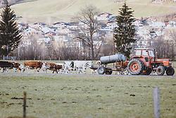 THEMENBILD - ein Landwirt bringt seiner Milchkuhherde frisches Wasser mit seinem Traktor, aufgenommen am 17. Novemeber 2020 in Kaprun, Österreich // a farmer brings fresh water to his dairy herd with his tractor, Kaprun, Austria on 2020/11/17. EXPA Pictures © 2020, PhotoCredit: EXPA/ JFK