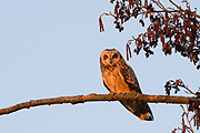 Short-eared owl (Asio flammeus) perched in alder tree at sunset. Surrey, UK.
