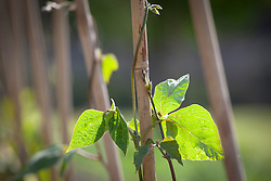 Young Runner Bean 'Enorma' starting to twine around cane support. Phaseolus coccineus
