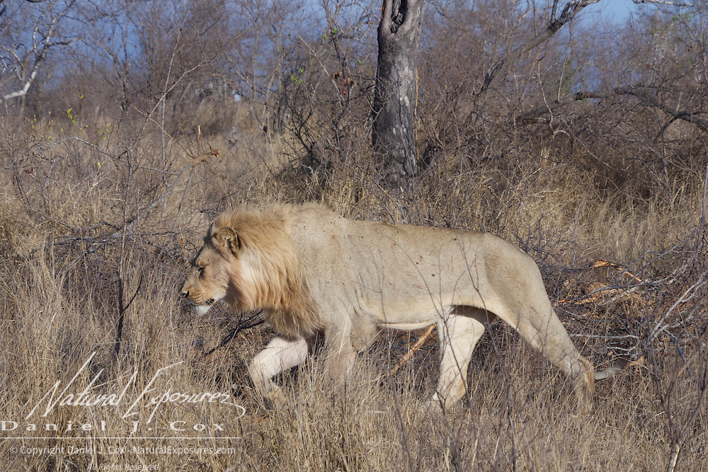 Male African lion walking. Timbavati Private Nature Reserve. South Africa.  African lion, hunting, Timbavati Game Reserve, South Africa.